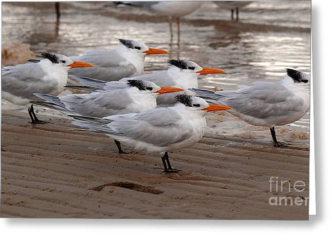Tern Greeting Cards - Royal Terns Greeting Card by Susan Leavines