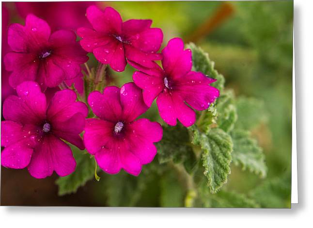 Verbena Greeting Cards - Royal Verbena 1 Greeting Card by Douglas Barnett