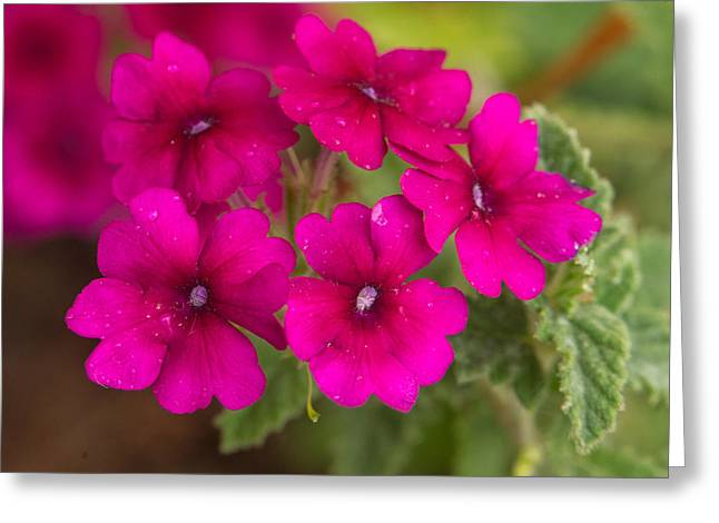 Verbena Greeting Cards - Royal Verbena 2 Greeting Card by Douglas Barnett