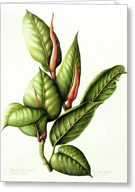 Ficus Greeting Cards - Rubber Plant, 1999 Wc On Paper Greeting Card by Annabel Barrett