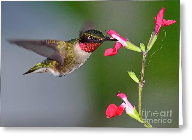 Hummingbirds Greeting Cards - Hummingbird Ruby and Red Greeting Card by Wayne Nielsen