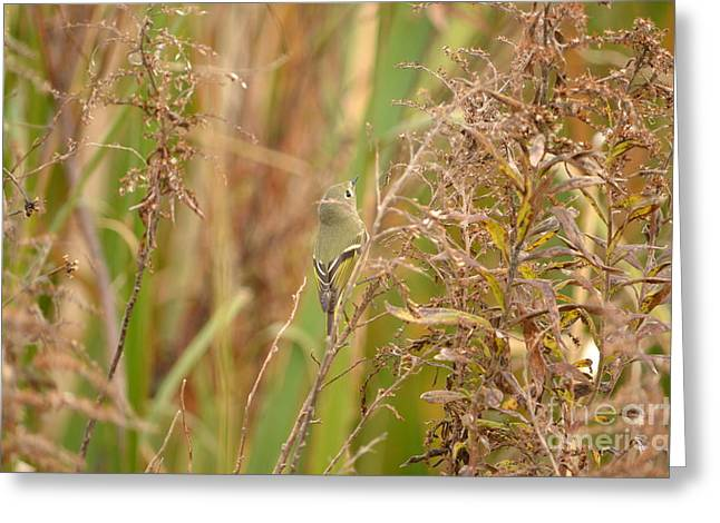 Ruby-crowned Kinglet Birds Greeting Cards - Ruby Crowned Kinglet Greeting Card by Kathy Gibbons