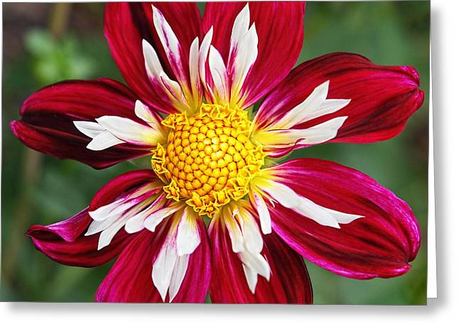 Garden Petal Image Greeting Cards - Ruby Glow Greeting Card by Gill Billington