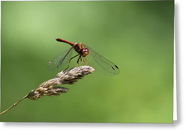 Meadowhawk Greeting Cards - Ruby Meadowhawk Dragonfly Greeting Card by Christina Rollo