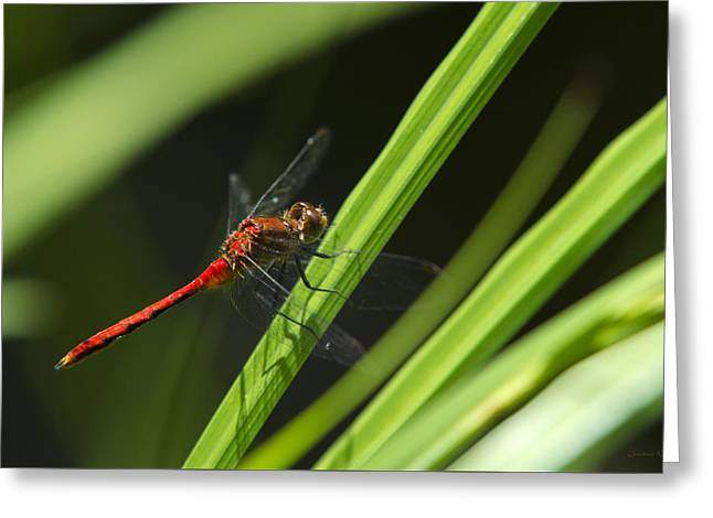 Meadowhawk Greeting Cards - Ruby Meadowhawk Dragonfly On Green Grass Greeting Card by Christina Rollo