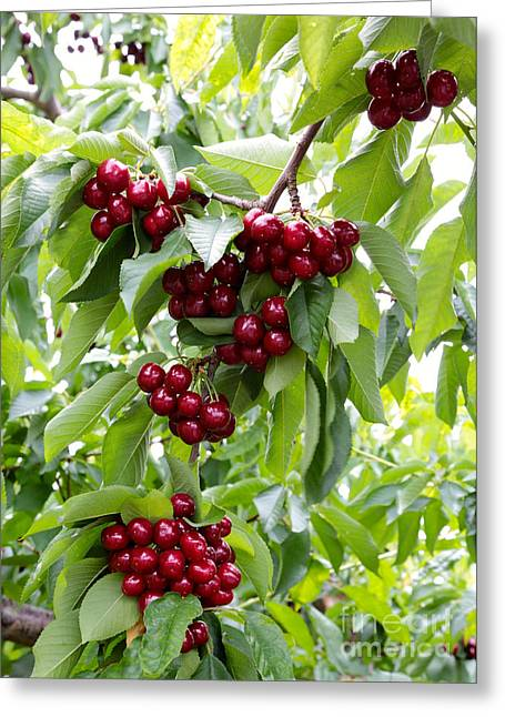 Grocery Store Greeting Cards - Ruby Red Cherries Greeting Card by Carol Groenen