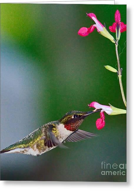 Hummingbirds Greeting Cards - Ruby Red Hummingbird and Flowers Greeting Card by Wayne Nielsen