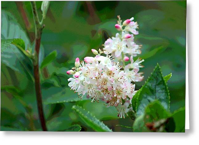 Floral Digital Art Greeting Cards - Ruby Spice - Clethraceae Greeting Card by Suzanne Gaff