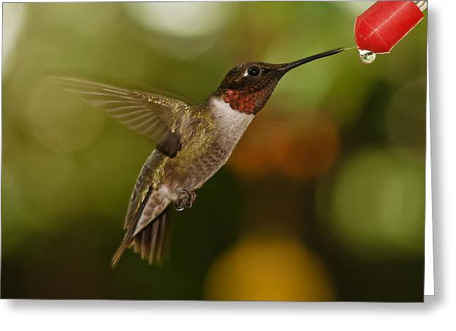 Spider And Fly Greeting Cards - Ruby-Throat Hummingbird Greeting Card by Robert L Jackson