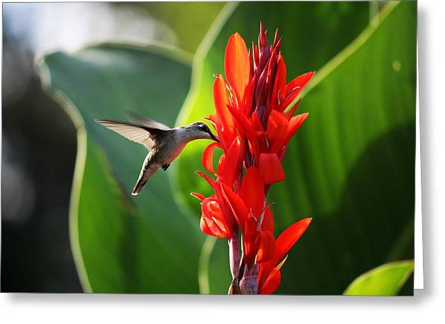 Ruby Throated Hummingbird Wall Art Greeting Cards - Ruby-Throated Hummingbird and Canna Flower Greeting Card by Hannah H