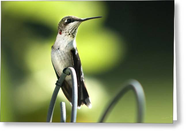 Ruby-Throated Hummingbird Greeting Card by Christina Rollo