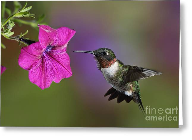 Ruby Throated Hummingbird Greeting Cards - Ruby-throated Hummingbird - D004190 Greeting Card by Daniel Dempster