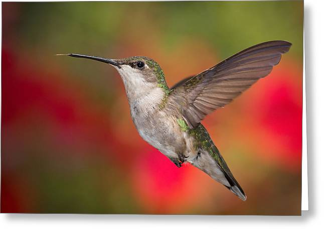 Iridescence Greeting Cards - Ruby Throated Hummingbird Greeting Card by Dale Kincaid