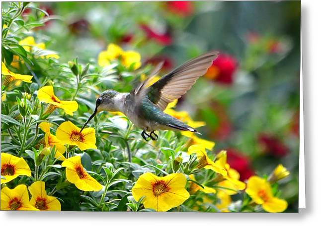 Hovering Greeting Cards - Ruby Throated Hummingbird Greeting Card by Deena Stoddard