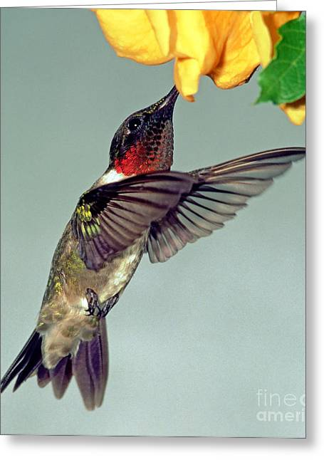 Hovering Greeting Cards - Ruby-throated Hummingbird Male At Flower Greeting Card by Millard H. Sharp