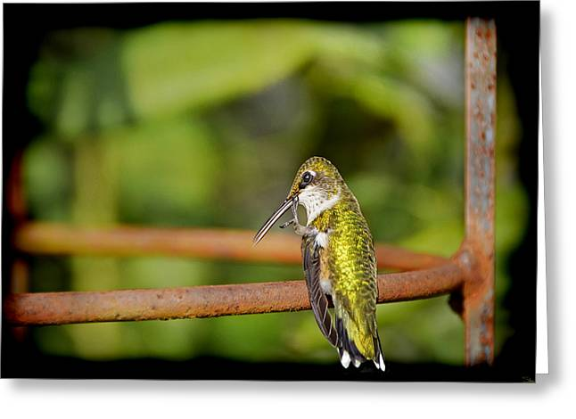 Birds Of A Feather Greeting Cards - Ruby Throated Hummingbird Greeting Card by Steven  Michael