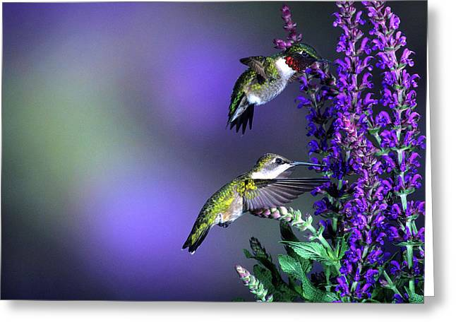 Ruby-throated Hummingbirds (archilochus Greeting Card by Richard and Susan Day
