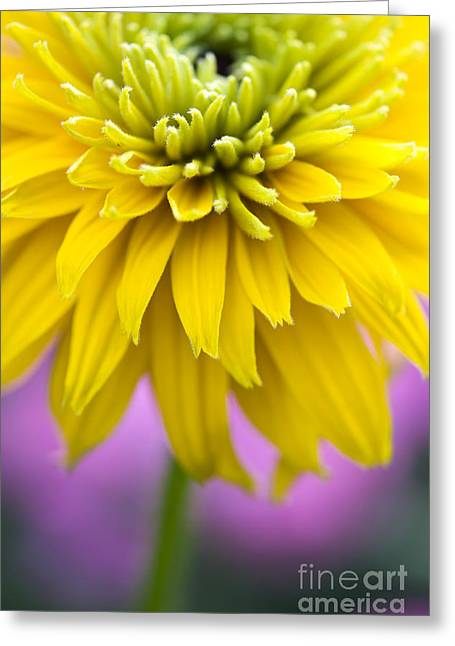 Abstracted Coneflowers Greeting Cards - Rudbeckia Cherokee Sunset Flower Greeting Card by Tim Gainey