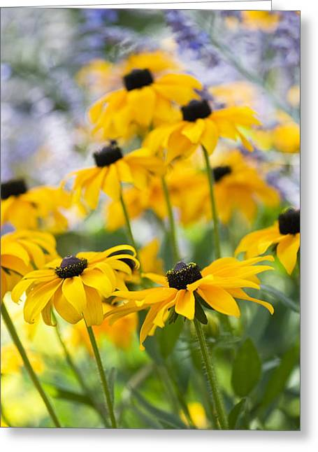 Abstracted Coneflowers Greeting Cards - Rudbeckia Fulgida Goldsturm Greeting Card by Tim Gainey