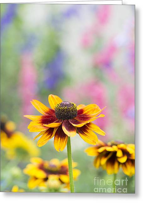 Abstracted Coneflowers Greeting Cards - Rudbeckia Hirta Greeting Card by Tim Gainey