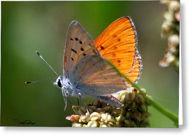 Ruddy Greeting Cards - Ruddy Copper Butterfly Greeting Card by David Salter