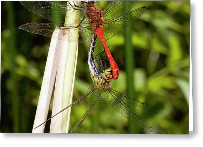 Ruddy Darter Dragonflies Mating Greeting Card by Bob Gibbons