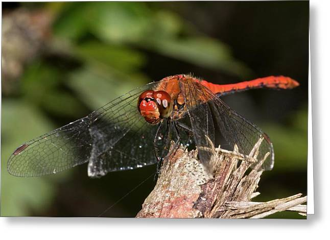 Ruddy Darter Dragonfly Greeting Card by Bob Gibbons