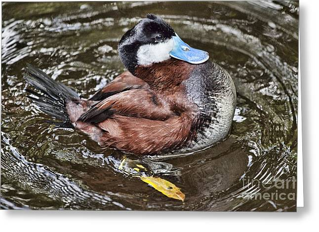 Ruddy Greeting Cards - Ruddy Duck Greeting Card by Douglas Barnard