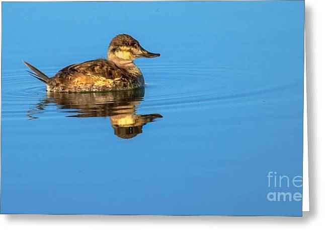 Haybales Greeting Cards - Ruddy Duck Greeting Card by Robert Bales