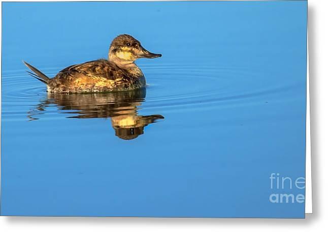 Ruddy Duck Greeting Card by Robert Bales