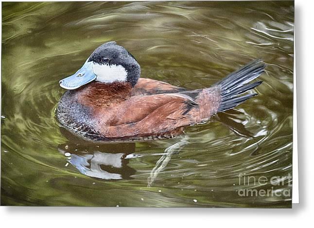 Ruddy Greeting Cards - Ruddy Duck V2 Greeting Card by Douglas Barnard