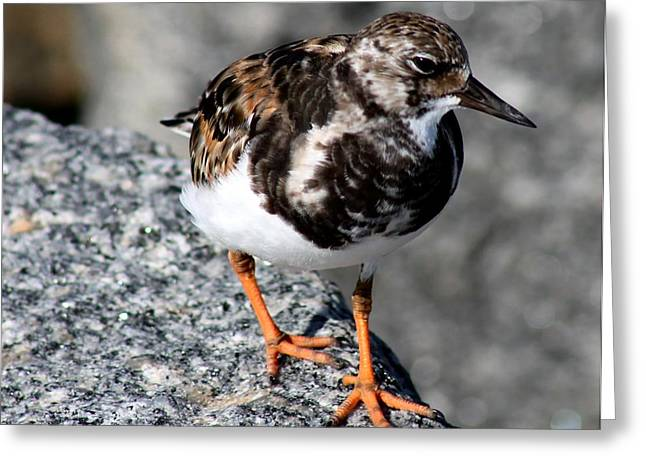 Water Bird Greeting Cards - Ruddy Makes for the Rocks Greeting Card by Patricia Twardzik