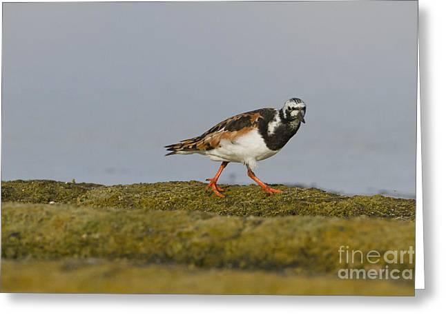 Sea Birds Greeting Cards - Ruddy Turnstone Arenaria interpres Greeting Card by Eyal Bartov