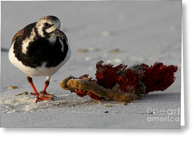 Wildlive Greeting Cards - Ruddy Turnstone Greeting Card by Meg Rousher