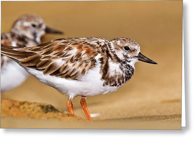 Ruddy Turnstones On A Beach Greeting Card by Bob Gibbons