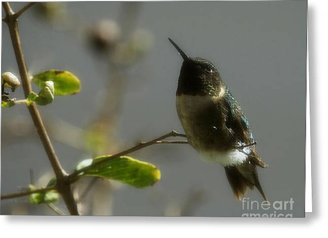 Amanda Collins Greeting Cards - Rudy the Hummer Greeting Card by Amanda Collins