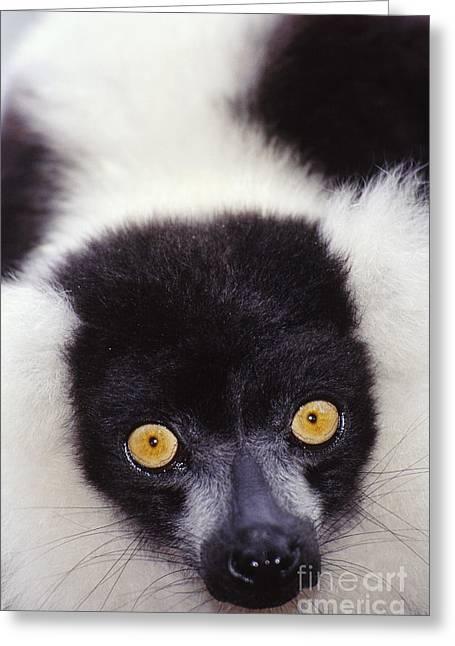 Lemur Greeting Cards - Ruffed Lemur, Madagascar Greeting Card by Art Wolfe