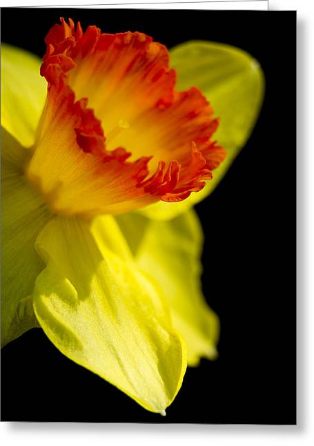 Spring Bulbs Greeting Cards - Ruffled Cup Greeting Card by Caitlyn  Grasso