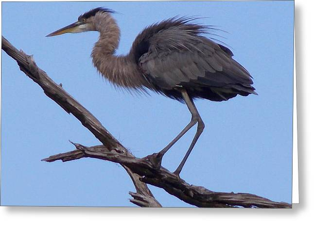 Great Blue Heron Framed Print Greeting Cards - Ruffled Up Blue Heron Greeting Card by Sheri McLeroy