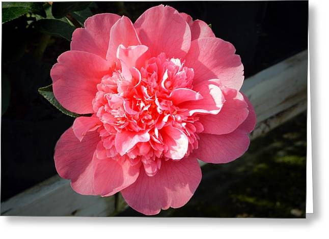 Camellia Photographs Greeting Cards - Ruffles In Pink. Greeting Card by Terence Davis