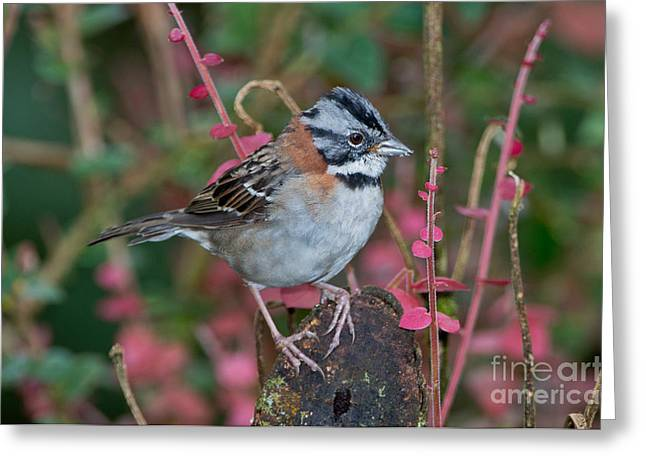 Rufous-collared Sparrow Greeting Card by Anthony Mercieca