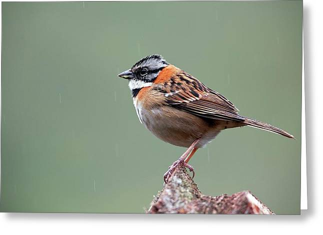 Rufous-collared Sparrow Greeting Card by Nicolas Reusens