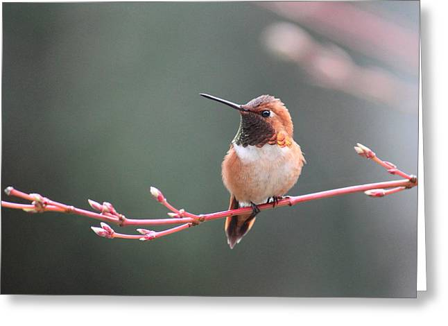 Rufous Hummingbird 2 Greeting Card by Angie Vogel