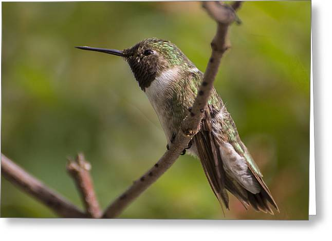Feisty Greeting Cards - Rufous Hummingbird Greeting Card by Penny Lisowski