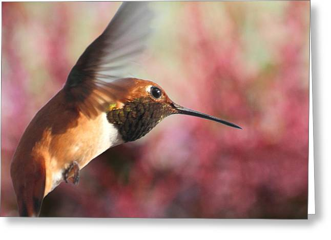 Hovering Greeting Cards - Rufous Hummingbird Wonder Greeting Card by Angie Vogel