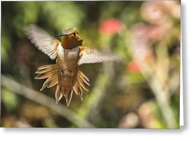 Hummingbird Greeting Cards - Rufous Greeting Card by Mike Herdering