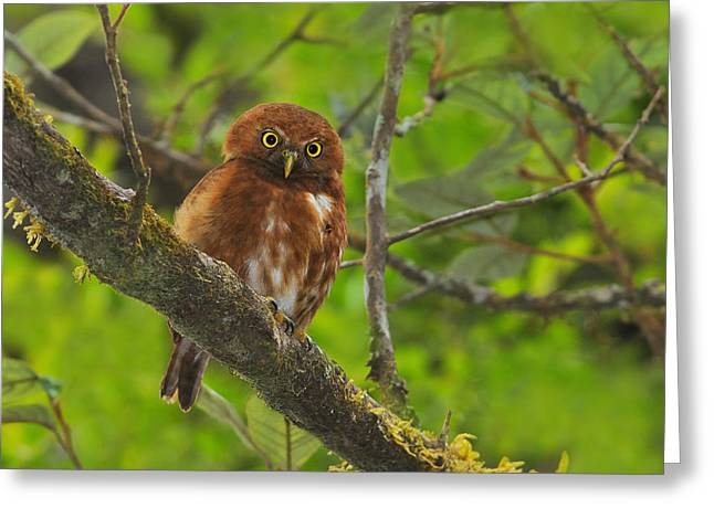 Owlets Greeting Cards - Rufous Morph Costa Rican Pygmy-Owl Greeting Card by Tony Beck