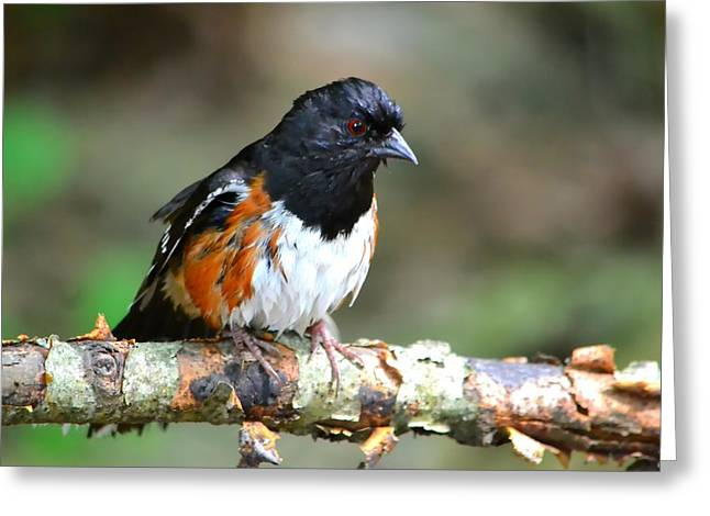 Coloured Greeting Cards - Rufous Sided Towhee Greeting Card by Deena Stoddard
