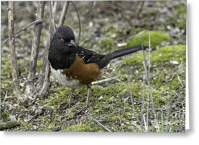 Tim Moore Greeting Cards - Rufous-sided Towhee Greeting Card by Tim Moore