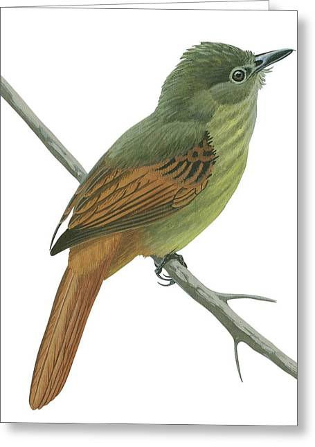 White Background Drawings Greeting Cards - Rufous tailed flatbill  Greeting Card by Anonymous